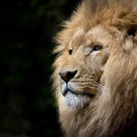 male lion against a black background