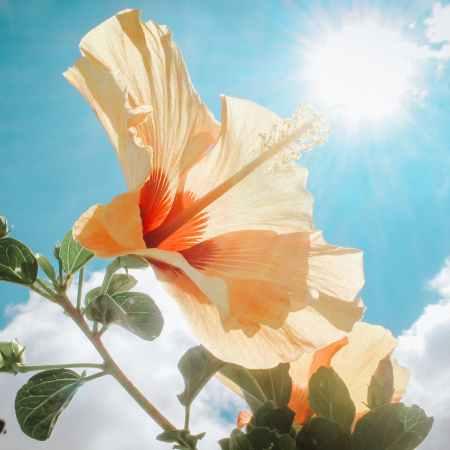 peach colored flower in sunlight