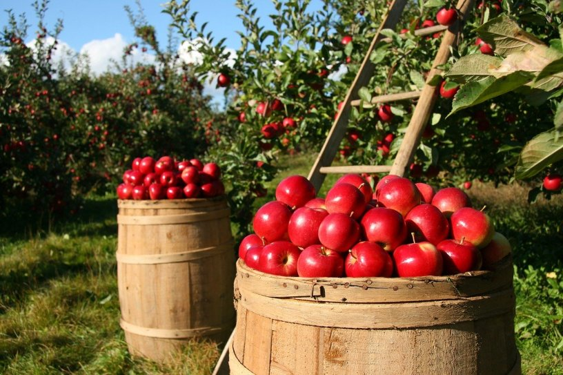 Apple orchard barrels of picked ripe apples with a ladder reaching into a tree