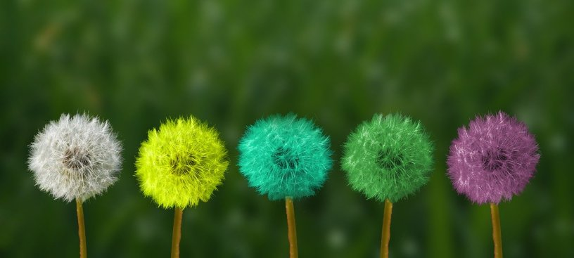 different colored dandelions