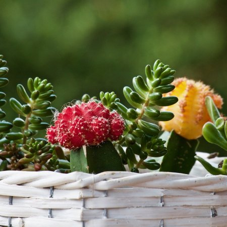 small cactus, flowering cactus in a white wicker basket