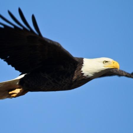 Bald eagle soaring against a clear blue sky