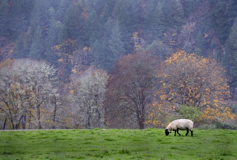 one sheep grazing on green grass