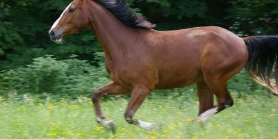 brown horse galloping