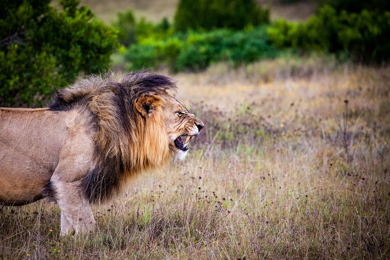 lion-1605295_1280