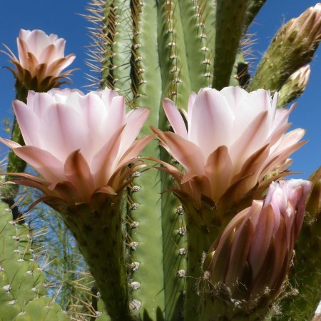 Cactus in the desert with large pink flowers set against a clear blue sky.