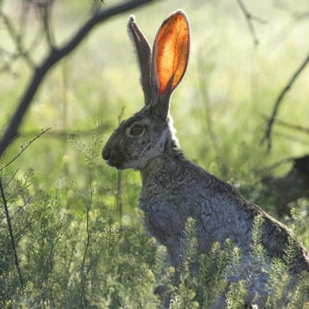 jackrabbit ears standing up straight