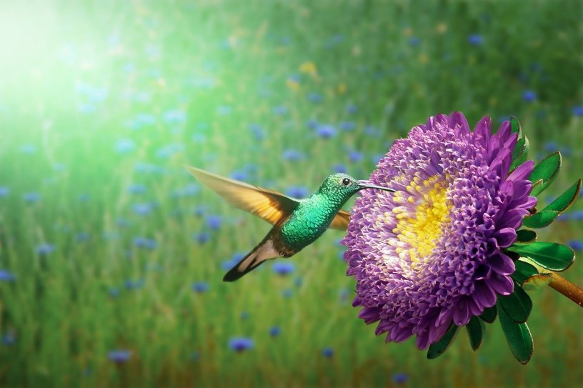 A bright green, yellow winged Hummingbird gets nectar from a huge purple flower. The whole picture is a bit surreal in bright green and purple flowers.