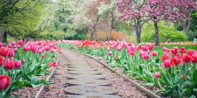 Bright pink/red tulips line a mulch and stone pathway. Spring trees in bloom light up the background.