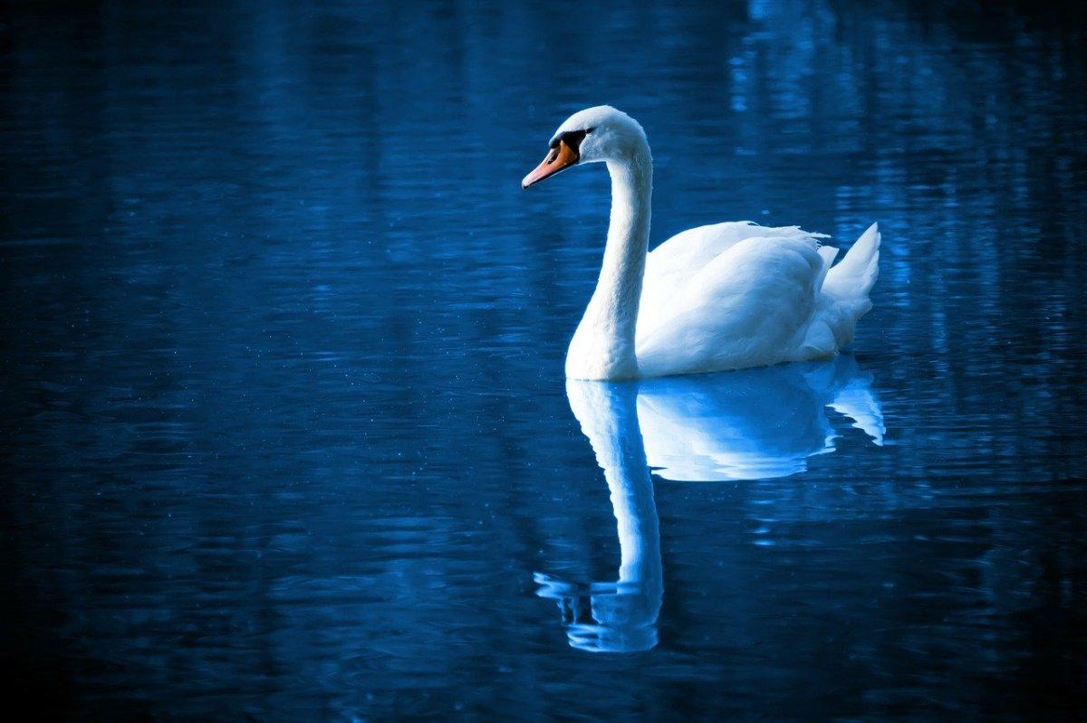 A large single white swan floating on calm water with a blue hue.